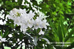 夹竹桃的品种分类