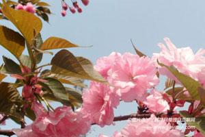 樱花的管理措施