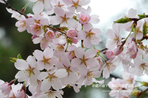 樱花的品种分类