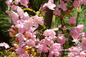 樱花的分布区域