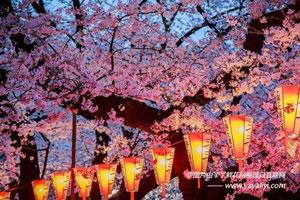 樱花的国花市花