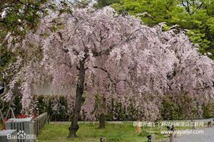 东京樱花的主要变种