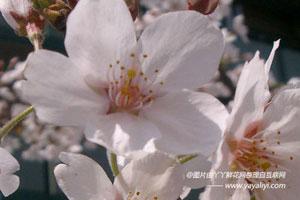 东京樱花的形态特征