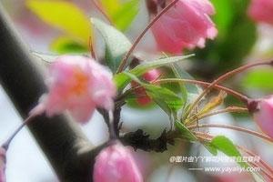 山樱花主要价值