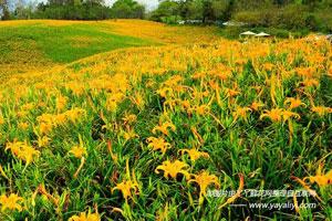 萱草的分布区域