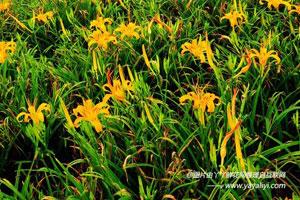 萱草的品种分类