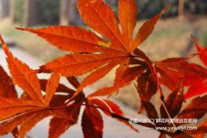 鸡爪槭的园林观赏价值