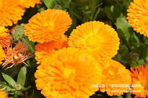 金盏菊的生态习性