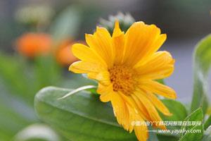 金盏菊的繁殖方式