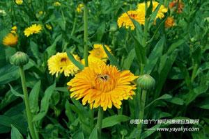 金盏菊的栽培史