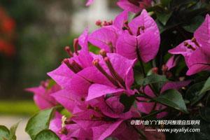 叶子花的形态特征