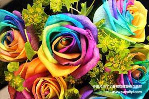 彩虹玫瑰的栽培技术