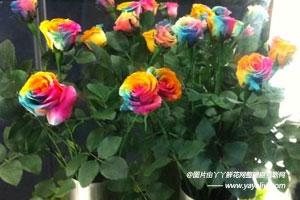 进口彩虹玫瑰和普通国产染色玫瑰