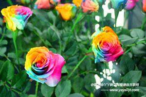 彩虹玫瑰的作用用途