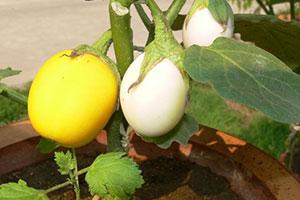 金银茄的生态环境