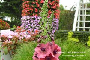 紫毛蕊花的介绍