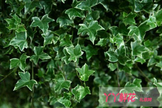 常春藤有哪些品种?常春藤的分类