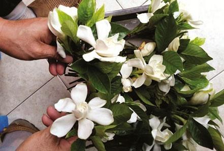 南京三白:栀子花最多茉莉犹在白兰花快绝迹