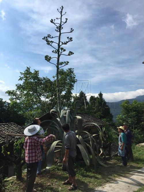 巨型芦荟花开6米高 只能仰视