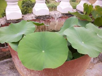 夏季碗莲养护的注意事项