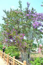 青岛500岁紫薇古树花开六色迎客 游客赞叹不已