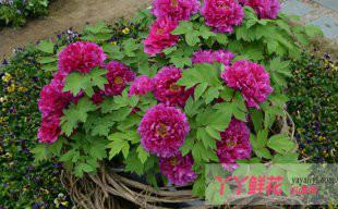 牡丹芍药盆花的夏季冷贮