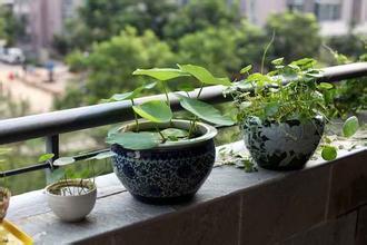 如何种植碗莲?