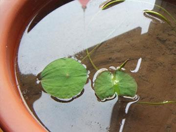 碗莲养殖怎么施肥?