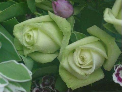 绿玫瑰花语