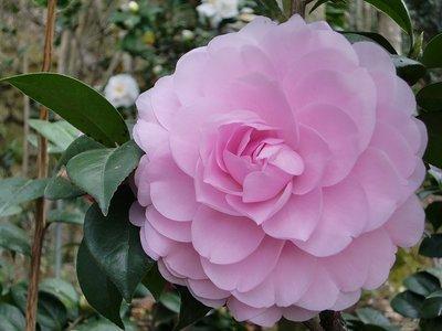 【粉红色山茶花】-是你的爱让我越变越美丽