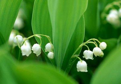 【白色铃兰】-幸福即将到来(个人很喜欢的一种花,洁白,清脆的感觉)