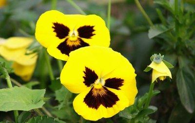 【黄色三色堇】-有着黄色花瓣的三色堇,花语是'忧喜参半',属性土。