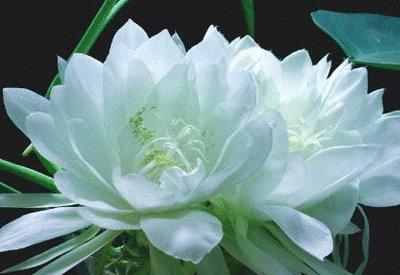 【雪莲花】-祈愿愿望达成后的安慰