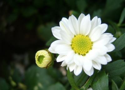 【白色菊花】-真实坦诚