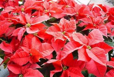 【圣诞花】-美满冷漠,会受苦