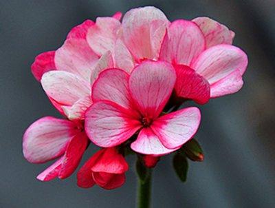 【粉红色天竺葵】-很高兴能陪在你身边