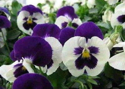 【紫色三色堇】-有着紫色花瓣的三色堇,花语是'沉默不语',属性暗。