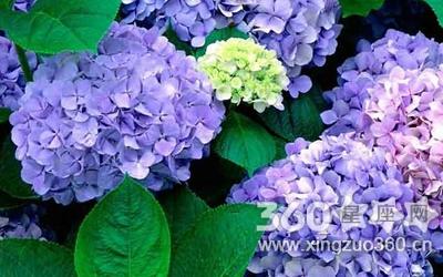 紫色绣球花花语