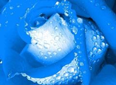 蓝色妖姬花语