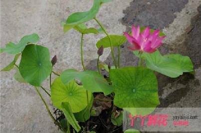 碗莲的无土种植方法