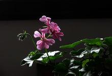 天竺葵主要品类