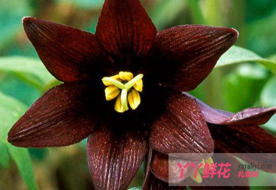 黑色曼陀罗的花语及传说是什么