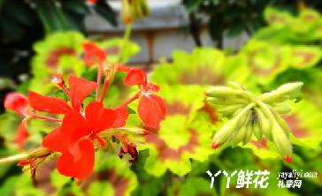 天竺葵的日常养护注意事项