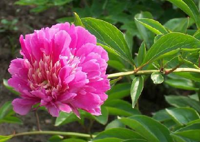 芍药花的花语