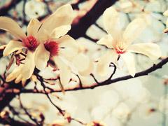 木兰花的花语