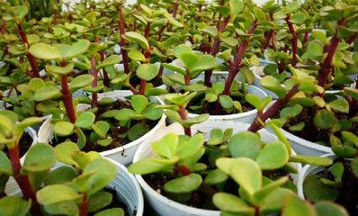金枝玉叶盆栽的养殖方法