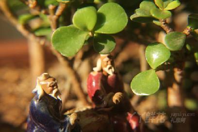 金枝玉叶盆栽的种植要点