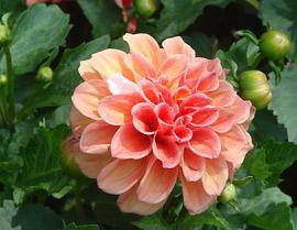 大丽花是墨西哥的国花,西雅图的市花,吉林省的省花,河北省张家口市的市花,绚丽多姿的大丽花象征大方、富丽,大吉大利。今天,它的足迹已遍布到世界各国,成为庭园中的常客,世界著名的观赏花卉。