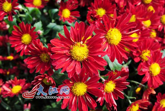 图二:本届菊花展以黄、红、白等为主色调