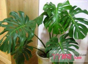 龟背竹的栽培方法